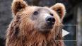 В Приморье задержали контрабандистов с сотнями медвежьих ...