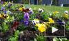 Видео: в Выборге высаживают цветы ко Дню Победы