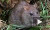 В Китае крысятину продавали под видом говядины