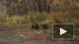 Медведица напала на мужчину возле школы на Камчатке