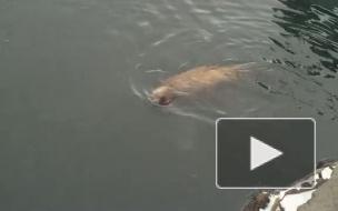 Купание ушастых тюленей