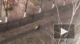 Петербурженка перепутала гуляющего алабая со львицей