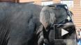 Видео: Петербуржцев поразило шествие слонов на Невском ...