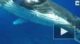 Видео: 20 тонный кит спас женщину-биолога от акулы
