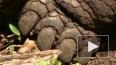 На Галапагоссах умерла последняя слоновая черепаха