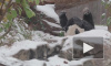 Забавное видео: панда радуется падающим снежинкам и валяется в снегу