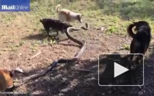 В Таиланде четыре собаки спасли хозяйку от королевской кобры