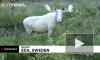 В лесах Швеции на видео попал белый лось-мутант