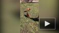 Видео: на детской площадке в Шушарах гуляет лиса