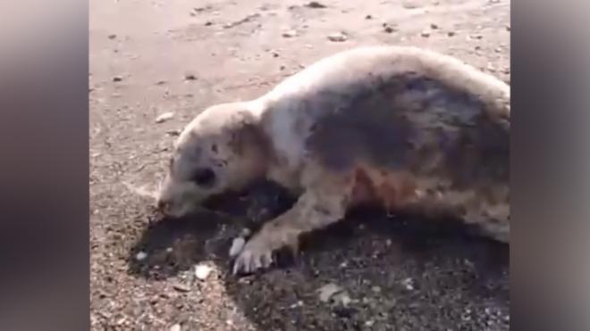 На Сахалине нашли расстрелянного на берегу моря тюленя