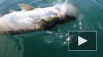 Видео: акула-молот отняла у рыбака улов весом более ...