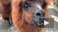 Ленинградский зоопарк поделился видео с альпаками