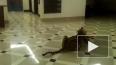 В Хабаровском ТЦ разгуливал настоящий тигр