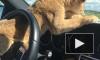 Житель Тюмени ездит на автомобиле со львенком на переднем сиденье