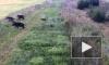 Кабаны-нелегалы попали на видео: Стадо кабанов сбежало из Беларуси в Литву