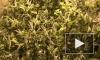 В Петербурге обнаружена высокотехнологичная плантация марихуаны