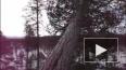 Месть леса: В Ленобласти дерево раздавило лесоруба