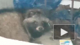В поселке Песочный нашли ухоженную енотовидную собаку