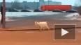 В Петербурге опять заметили козу
