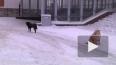 Петербуржцы бьют тревогу из-за стай бездомных собак ...