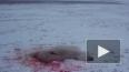 Видео кровавого расстрела белого медведя на Чукотке ...