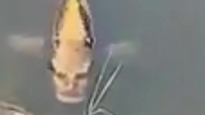 Видео: Пользователей сетей напугал карп с человеческим лицом