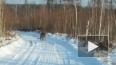 Приморье: видео о свободно разгуливающем амурском ...