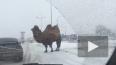 Верблюд из Кургана, устроивший ДТП, стал звездой рекламы