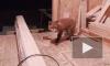 В сети появилось видео, на котором лисенок пришел поужинать к строителям