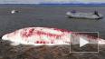 В Хабаровском крае спасли израненных белух, которых ...