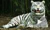 Очевидцы с трясущимися руками засняли на видео поимку бенгальского тигра Оскара