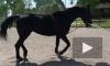 В Ленобласти мошенница украла породистую лошадь
