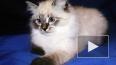 Медведев подарит экс-главе Финляндии котенка, похожего ...