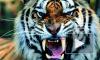 Дрессировщики советуют петербуржцам не держать дома тигров