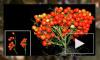 Американские ученые вывели сорт помидоров для города и космоса
