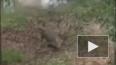 Песик прогнал 3-метрового крокодила, защищая хозяина