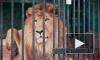 В Ленинградском зоопарке впервые за 20 лет родились мимимишные львята