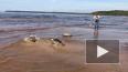 Четыре тюленя выпустили в Балтийское море после реабилит...