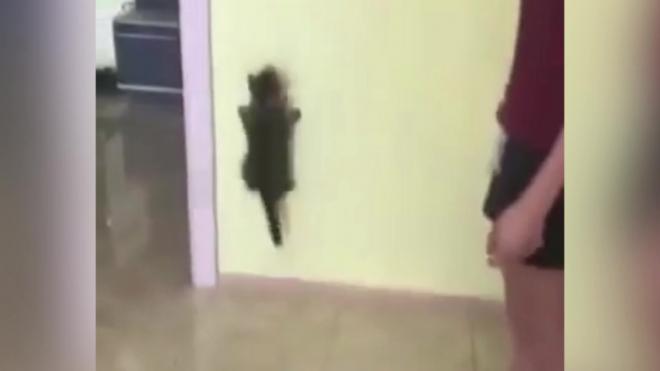 Забавное видео: котенок пробежался по стене