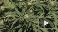 В России начаты исследования по использованию марихуаны ...