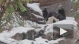 Забавное видео: панда радуется падающим снежинкам ...