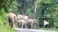 В Таиланде стадо слонов затоптало мотоциклиста: их ...