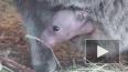 В Ленинградском зоопарке родились еще двое кенгурят