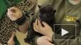 Родившихся в Петербурге малышей-ягуаров разлучили ...