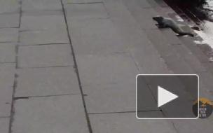Видео: спасение нерпы в центре города