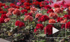 Видео: этим летом на Выборгских улицах петуньи заменили на герани