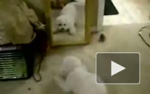 Глупая собака облаяла саму себя