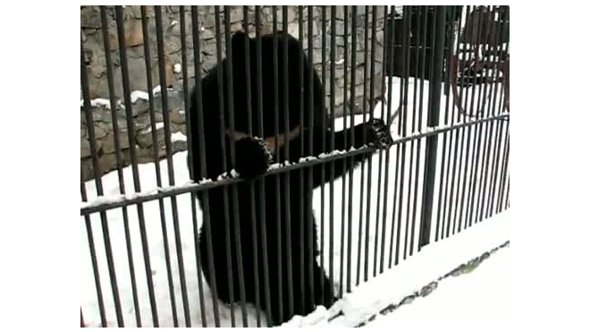 Медведь изображает Пугачеву