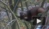 Видео: в Приморском районе на дереве заметили куницу
