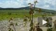 Экологи: Редкие звери Алтая вымирают из-за осколков ...